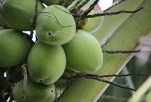 Coco, o superalimento